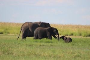 elephant newcomer